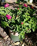 Teenie Genie Compact Lantana Plant Two Gallon by Monrovia Growers