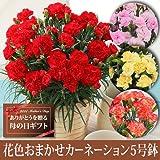 【送料無料!母の日ギフト】花色おまかせカーネーション5号鉢【5/12~5/13お届】