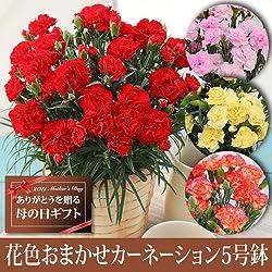 【送料無料!遅れてもうれしい母の日ギフト】花色おまかせカーネーション5号鉢