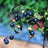 【大特価】ブルーベリーの約4~5倍のアントシアニンを含むビルベリー 挿木2~3年生15cmポット苗 1株