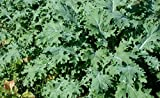 "ORGANIC HEIRLOOM KALE (BRASSICA NAPUS) ""WHITE RUSSIAN"" THE MOST WINTER HARDY AND FAST GROWING TOLERATES COLD WET SOILS BECOMING SWEETER IN COLD WEATHER APPROX 225SEEDS"