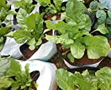 SEED Seller: SPINACH SEEDS or PALAK SEEDS. High yielding variety can be grown almost round the year. Suitable for both Kitchen garden, Commercial cultivation, easy to grow in Containers and Grow bags (1200)