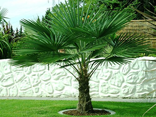 trachycarpus fortunei ca 160 cm frostharte hanfpalme bis 17 grad. Black Bedroom Furniture Sets. Home Design Ideas