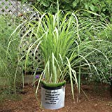 """3 Lemongrass Live Plants 15""""-20"""" TALL Non-GMO Organic - THREE (3) LIVE PLANTS Healthy Strong Root MOSQUITOES REPELLENT - Easy To Grow - CYMBOPOGON CITRATUS FREE GROW BAG FROM NATA GARDEN"""