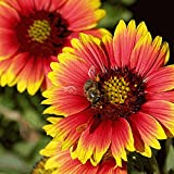 Everwilde Farms - 500 Indian Blanket Native Wildflower Seeds - Gold Vault Jumbo Seed Packet