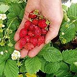 Suttons Seeds 179175 - Semi di fragole Regina