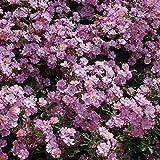 バラ苗 ラベンダードリーム 国産大苗6号スリット鉢 四季咲き 紫系 修景用
