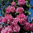 Raspberry Cream Twirl Rose Bush Reblooming Fragrant Climbing Rose Grown Organic 4\