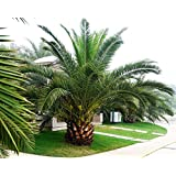 Pineapple Palm 5 seeds Phoenix canariensis Ornamental tree