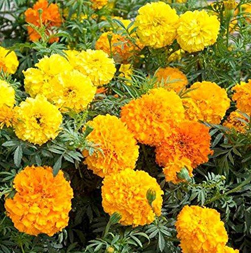 seekay-marigold-crackerjack-african-type-appx-900-seeds