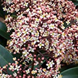 SKIMMIA RUBELLA- Superb Gift,Plant & Flower Gift For Christmas For Mum,Mom,Dad,Grandad,Grandma