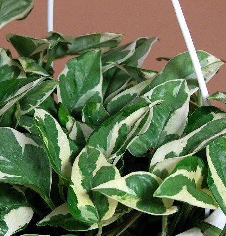 "Double Dip Devil's Ivy - Epipremnum aureum - 6"" Hanging Basket - NEW/EASY"