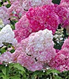 BALDUR-Garten Freiland-Hortensien 'Vanille Fraise®', 1 Pflanze, Hydrangea paniculata