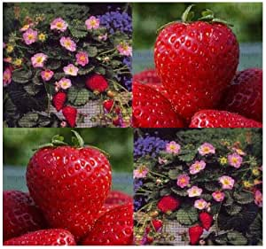 15 FRAGISSIMO STRAWBERRY SEEDS Showy ~Pink Blossoms & Tasty Large Strawberries