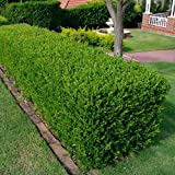 3 X BUXUS SEMPERVIRENS COMMON BOX BUSHY EVERGREEN HEDGING PLANT IN POT