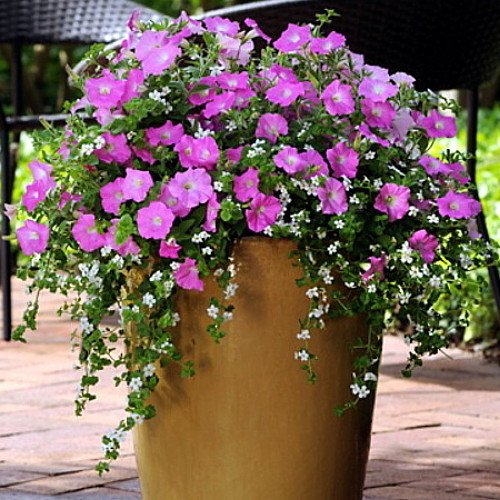 Shop for blue dawn petunia and bacopa 10 fuseable pellets - Wave petunias in containers ...