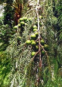 tropica madeira zedern wacholder juniperus cedrus. Black Bedroom Furniture Sets. Home Design Ideas