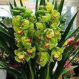 シンピジューム鉢植え【緑色】珍しいグリーン色 4本立て お祝い・誕生日などのお祝いに