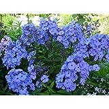 New Pack x6 Phlox Paniculata 'Blue Paradise' Perennial Garden Plug Plants