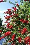 Lemon Bottlebrush Tree 15 Seeds -Callistemon- Tropical
