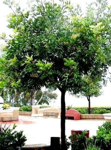 CERATONIA SILIQUA 10 CAROB TREE SEEDS CHOCOLATE SUBSTITUTE