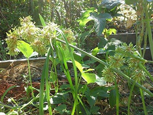 Cyperus Eragrostis, Pale galingale, Tall flatsedge, 100+ seeds, Pond Margin