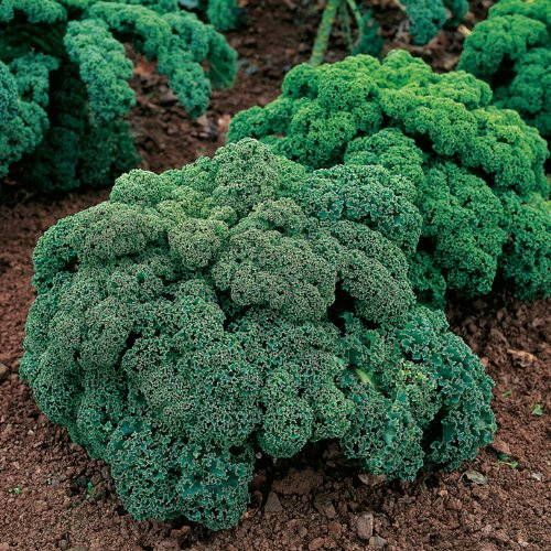 suttons-seeds-166112-graines-de-chou-kale-frise-nain