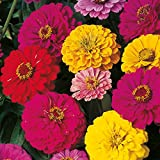 Zinnia Super Dreamland Elegans Mixed, 50 seeds by Seedscare