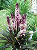 Reuben' (Eucomis) - Eucomis (Pineapple Lily) 1 Bulb- 9-11 Tropical Plant