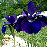 25 Seeds of Iris Sibirica - Siberian Iris 'Ceasar's Brother' Award Winner! Large Purple Frowers. 2 Feet Tall. Forms Rizomes