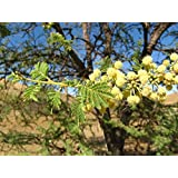 10 Seeds Acacia tortilis Umbrella Thorn Tree