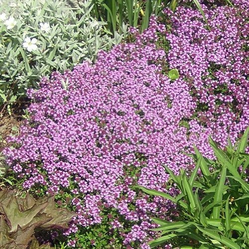 Earthcare Seeds Creeping Thyme 2000 Seeds Thymus serpyllum