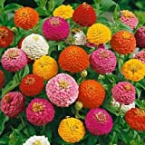 EPLANT Zinnia Mix Flower Seeds- 50 Nos
