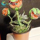鉢植え食虫植物種子ハエジゴクMuscipulaジャイアントクリップハエトリグサ種子食虫植物送料無料の100pcs熱い販売