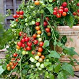 Suttons Seeds 150480 F1 Lizzano Tomato Seed