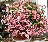 多年生の花の種の二重花の種子キンセンカの花の種20シード/パック