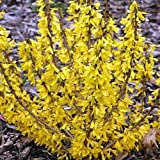 "Show OffTM Sugar Baby Forsythia 'Ninbus' PPAF - Compact - 4"" Pot - Proven Winners"