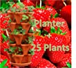 25 Eversweet Everbearing Strawberry Plants PLUS Strawberry Planter - Best Berry! - Great Mothers Day Gift - Bare Root Plants (25 Plants)