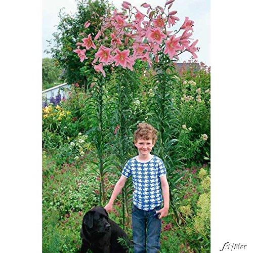 lilie-visa-versa-2-lilien-zwiebeln-lilium-zierpflanze-liliengewachs-blumenzwiebeln-zum-pflanzen-farb