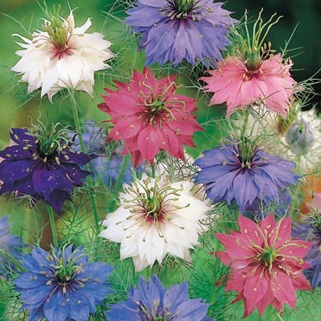 Love-in-a-mist Nigella-200 Seeds-Hardy Annual blue, white, rose, red and violet