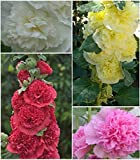 Hollyhock * Powder Puffs Double Mix * Seeds Fully Double Blooms New!