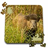 Danita Delimont - Wildlife - Kanha, Indian Wild Boar wildlife - AS10 JMC0013 - Joe and Mary Ann McDonald - 10x10 Inch Puzzle (pzl_132558_2)