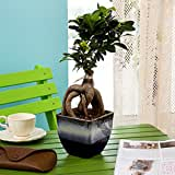 Exotic Green Ficus 3 Year Old Bonsai Plant Ocean Blue Pot