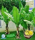 BALDUR-Garten Winterharte Bananen 'grün', 1 Pflanze, Musa...
