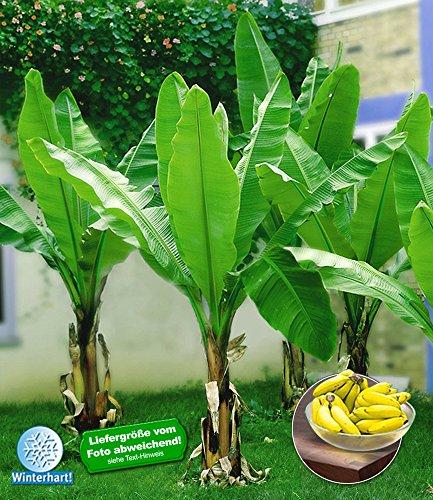 baldur-garten-winterharte-bananen-grun-1-pflanze-musa-basjoo