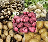 First Earlies Seed Potatoes Huge Selection Vegetable Plant EC Certified Vegetable Tubers