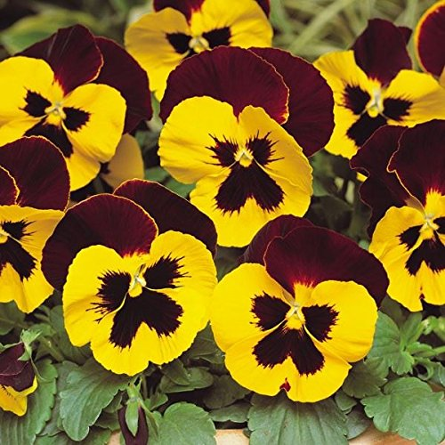 Pansy Yellow Red Wing Bedding Plants. 12 Garden Ready Plants. Not Plugs!