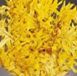 Preserved Yellow Oak Leaves, 1LB Decorative, Pressed, Dried Leaves