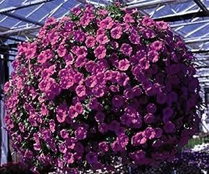 Verbena perfetta pianta da balcone fiorito car interior - Verbena pianta ...