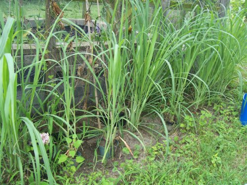 Live or Fresh Lemongrass for Cooking/Planting